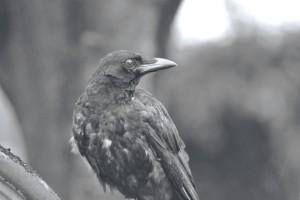 Ardersier raven monochrome