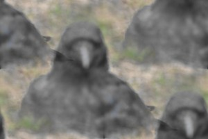 Ardersier ravens