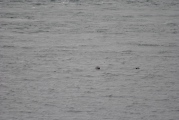 seals Sound of Sleat (4)