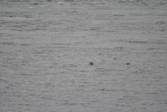 seals Sound of Sleat (4)