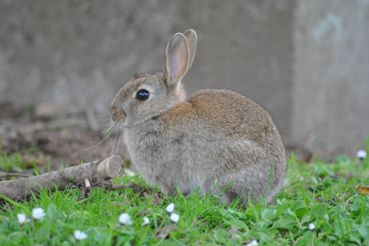 . For a long time rabbits have been considered as a symbol of fertility, innocence, even rebirth