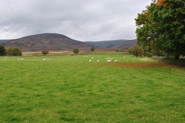 shepherd sheep market