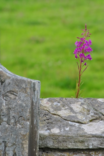 fireweed and gravestones