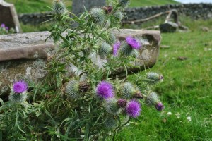 thistle closeup