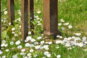 daisies and rusty iron